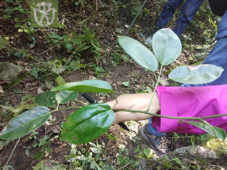 Holboellia brevipes