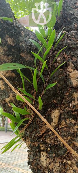 Pyrrosia adnascens