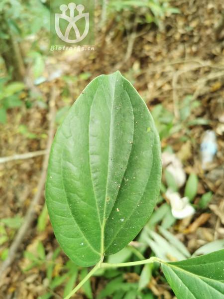 Piper macropodum
