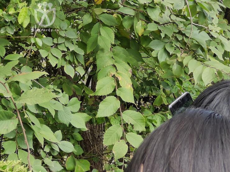 Ulmus pumila