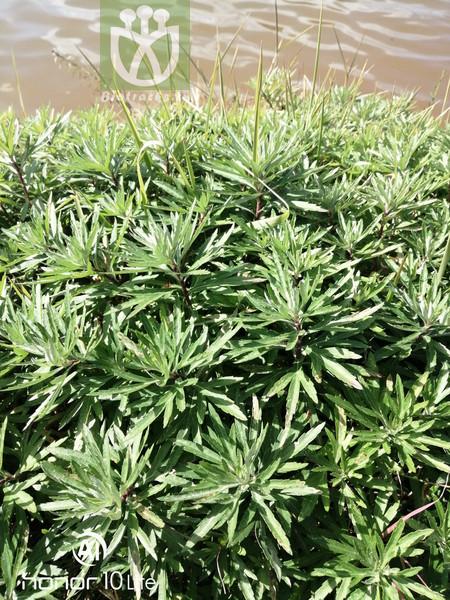 Artemisia selengensis var. selengensis