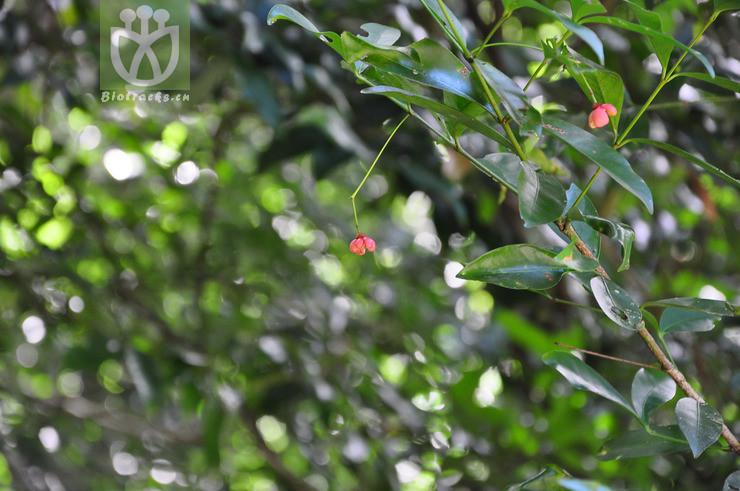Glyptopetalum geloniifolium