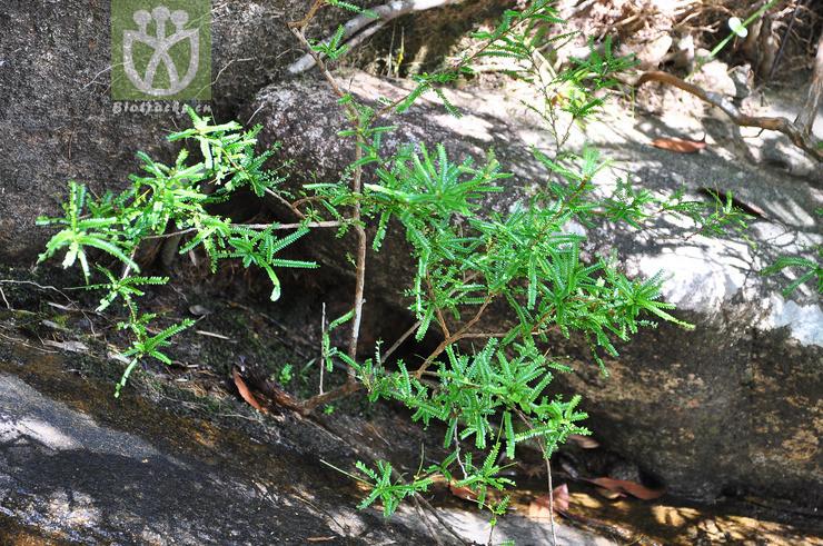 Phyllanthus nanellus