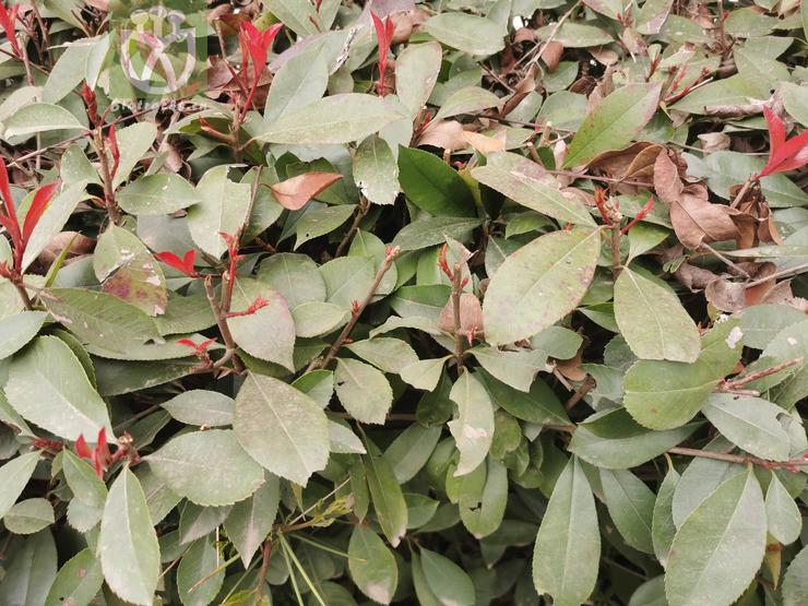 Acacia velutina