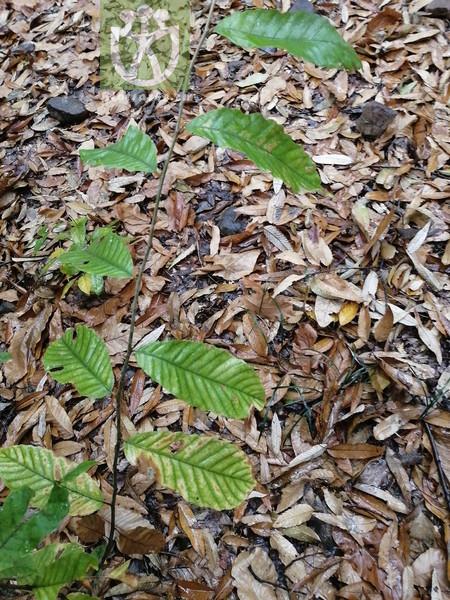 Castanea sativa var. spicata