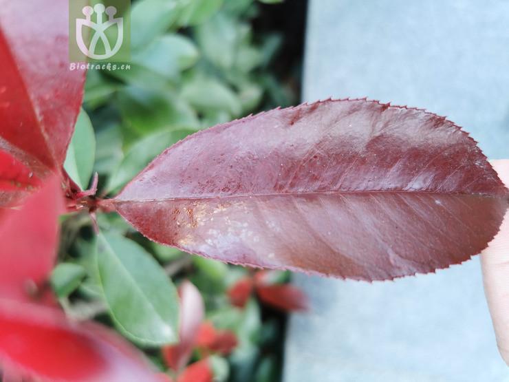 Photinia sp.