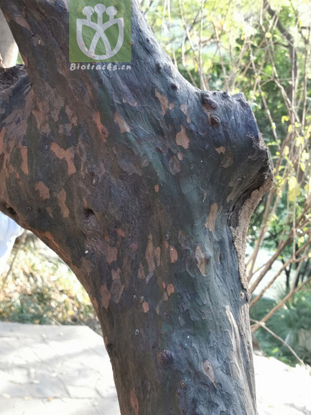 Chaenomeles sinensis