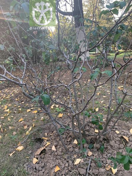 Hibiscus hamabo