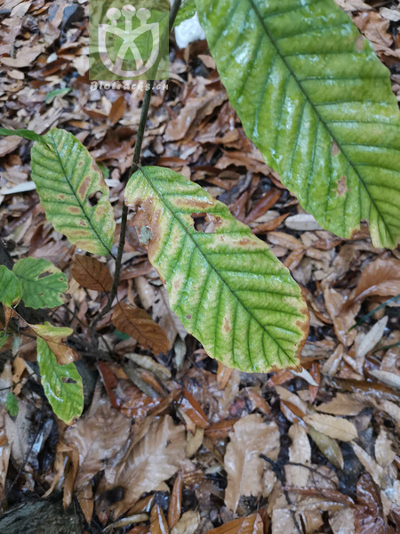 Castanea vulgaris