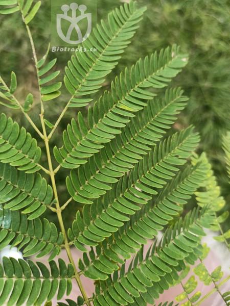 Acacia pennata