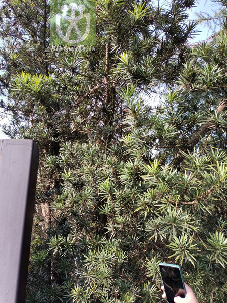 Podocarpus macrophyllus