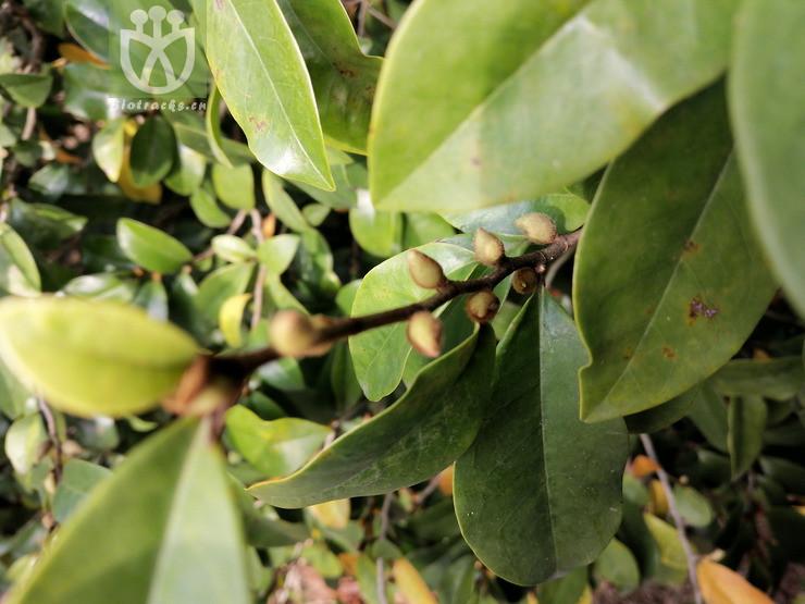 Acacia drepanocarpa