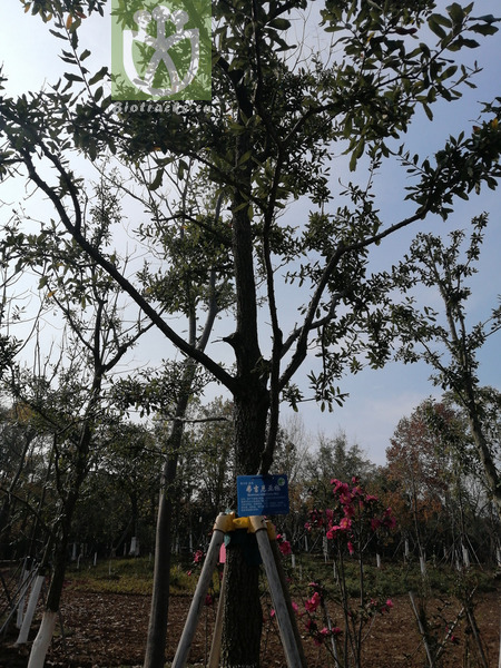 Quercus annexa