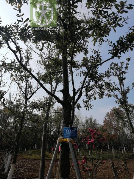 Quercus lanuginosa subsp. brachyphylla