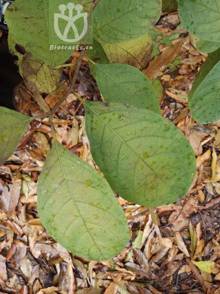 Ehretia ovalifolia