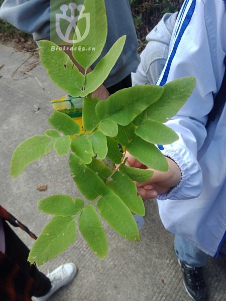 Osmunda japonica