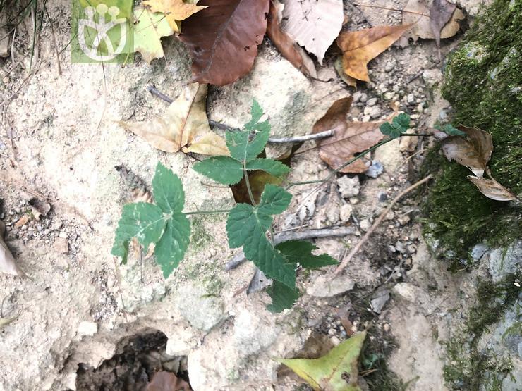 Rubus buschii