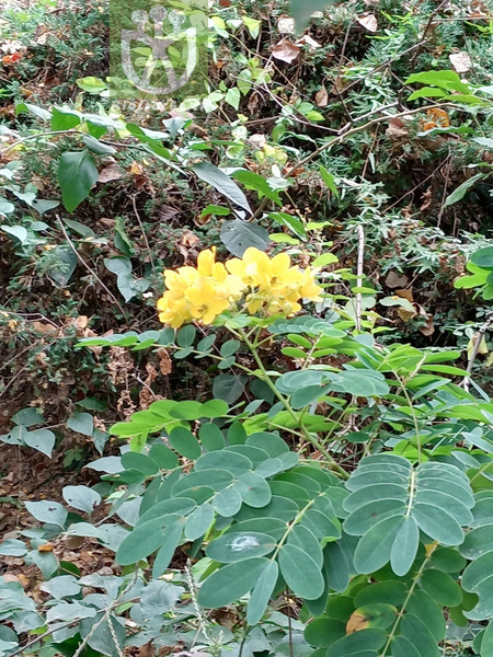 Cassia suffruticosa