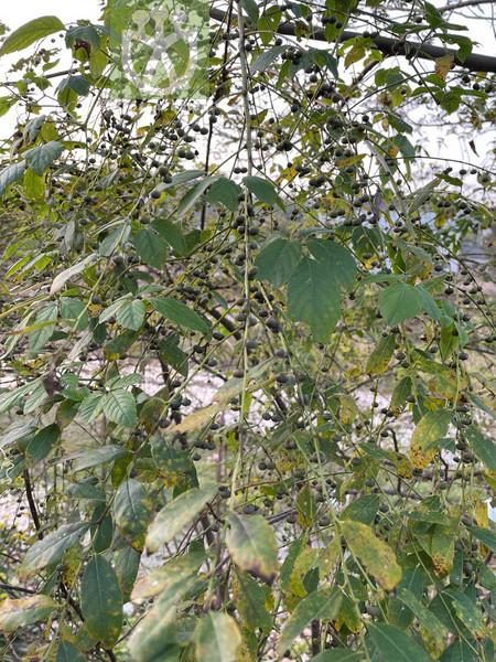 Phyllanthus lucidus
