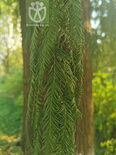 Taxodium distichum var. distichum
