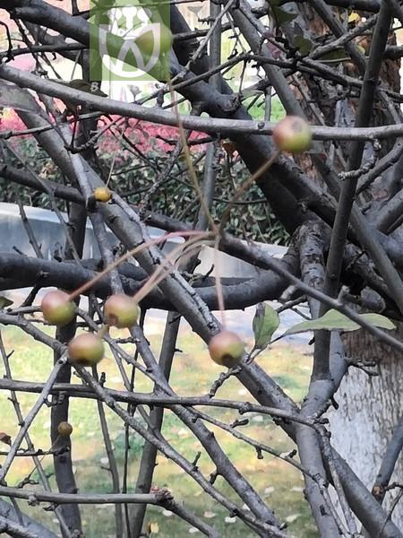 Acacia notabilis