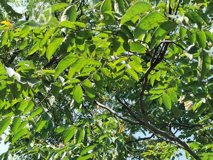 Maytenus elaeodendroides