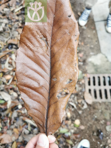 Fagus castanea