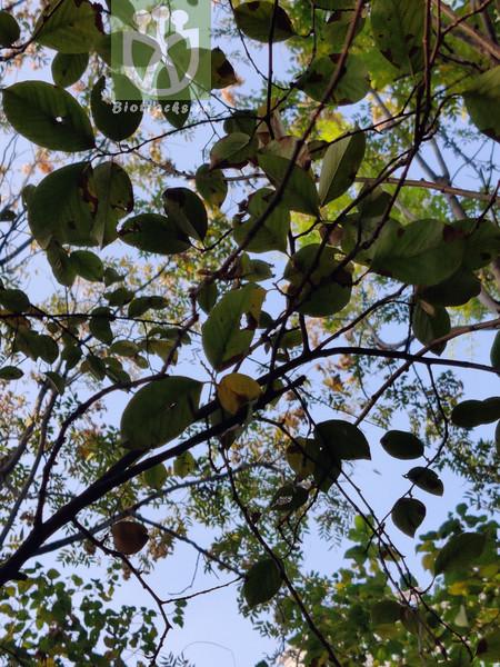 Pyrus chinensis