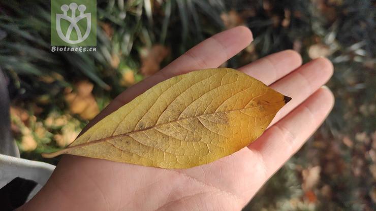Lindera erythrocarpa