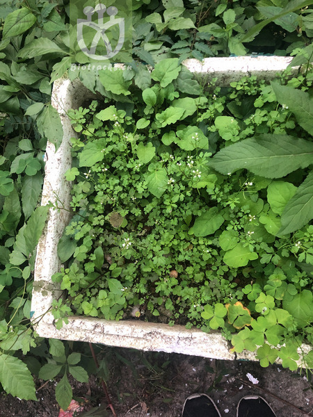 Thymus origanum