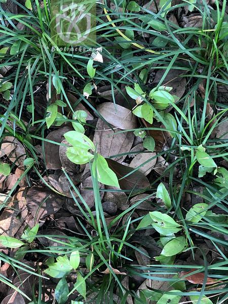 Hypericum lianzhouense