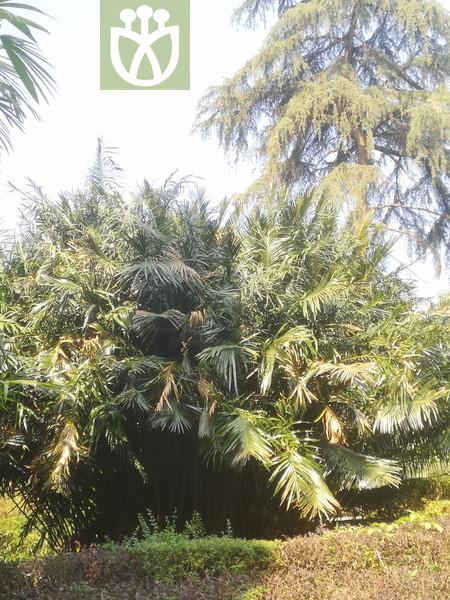 Cycas szechuanensis