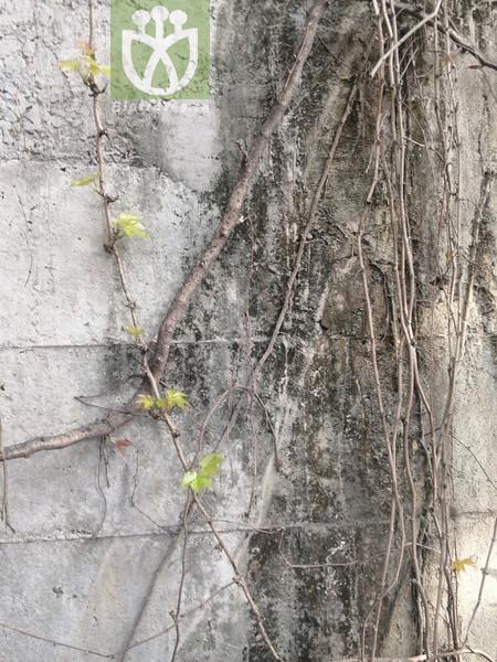 Parthenocissus sp.
