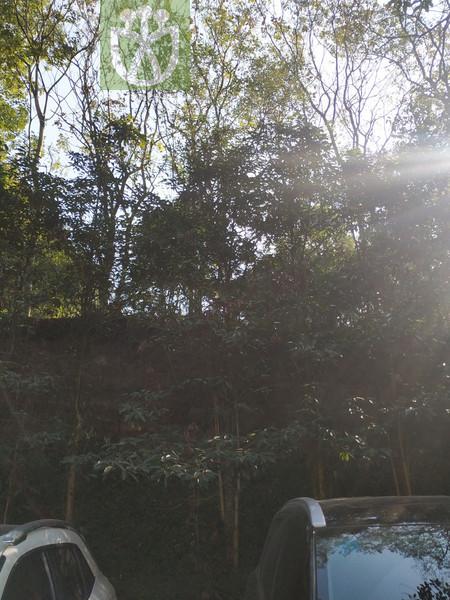 Podocarpus brevifolius