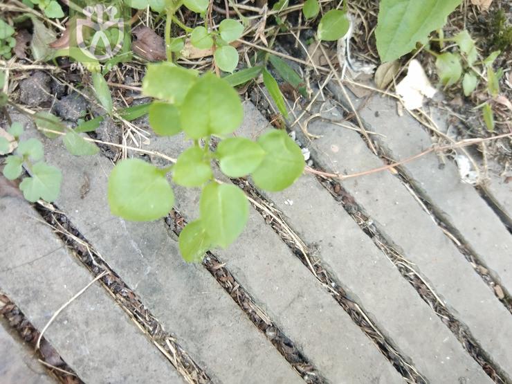 Origanum barcense