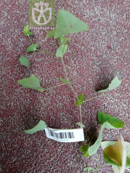 Polygonum perfoliatum