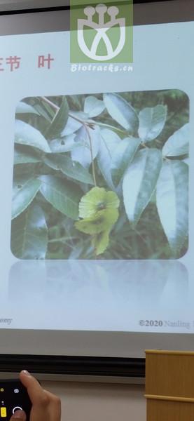 Acacia canescens