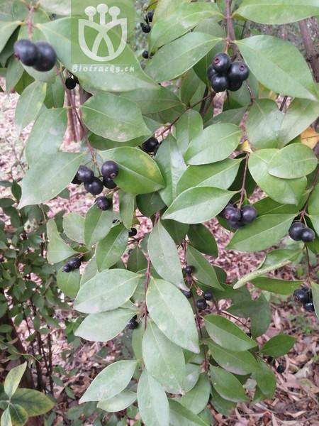 Syzygium buxifolium