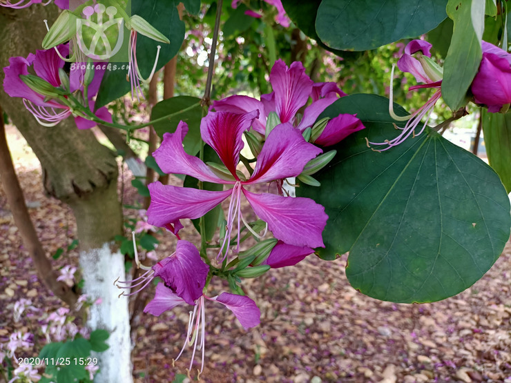 Acacia dentifera