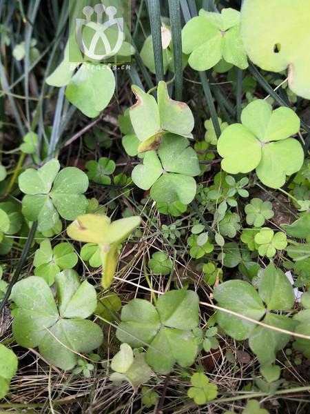 Oxalis corniculata