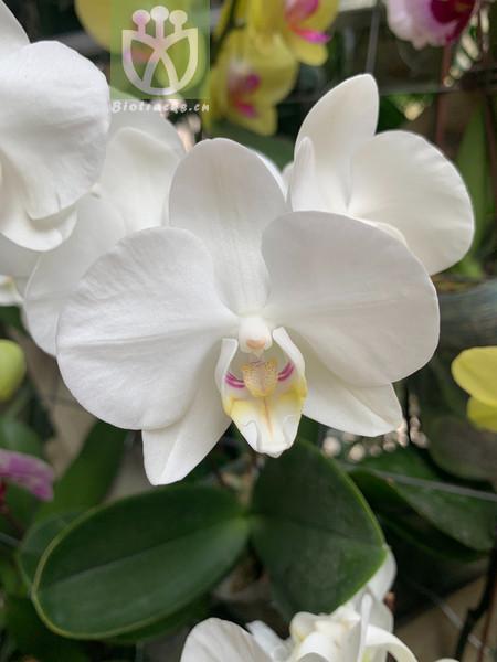 Elaeocarpus floribundoides
