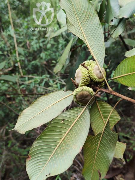 Quercus uvariifolia