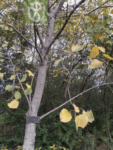 Populus pseudotremula