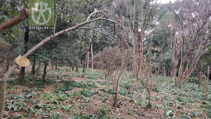 Stewartia nanlingensis