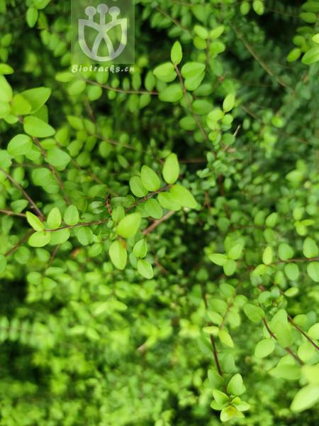 Lonicera ligustrina var. yunnanensis