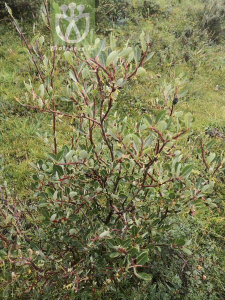 Salix oritrepha
