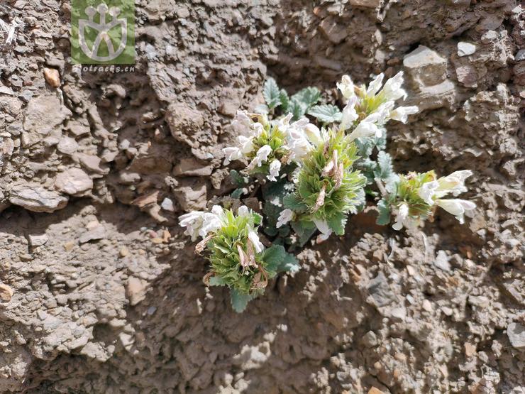 Dracocephalum heterophyllum