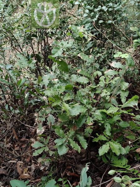 Quercus fabri