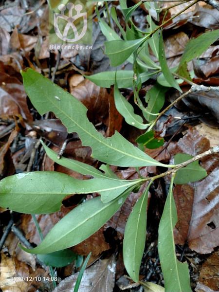 Kadsura hainanensis