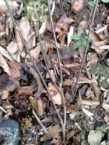 Corylus heterophylla var. sutchuenensis